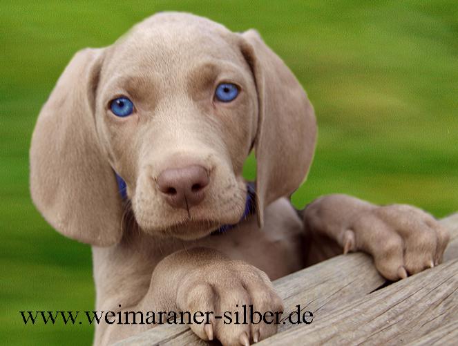 Weimaraner Welpe